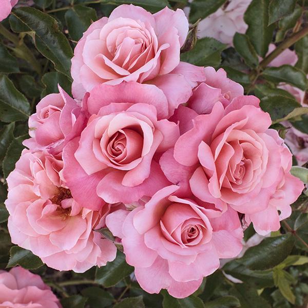 La Roseraie du Vaucluse_Rosiers buissons grandes fleurs_BOTTICELLI_Meisylpho