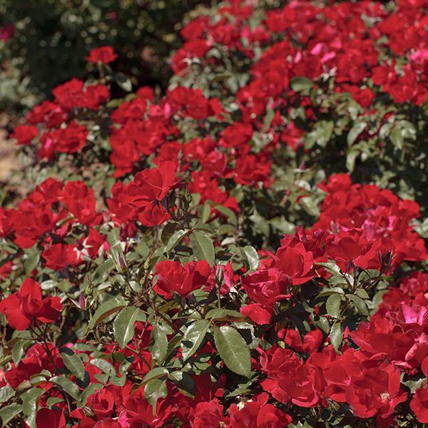La Roseraie du Vaucluse_Rosiers buissons grandes fleurs_LA SEVILLANA_Plus Meishitai