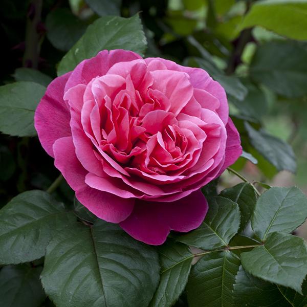 La Roseraie du Vaucluse_Rosiers buissons grandes fleurs_LINE RENAUD_Meiclusif