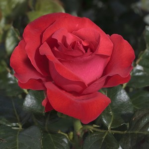 La Roseraie du Vaucluse_Rosiers buissons grandes fleurs_MAGALI_Meiposyton