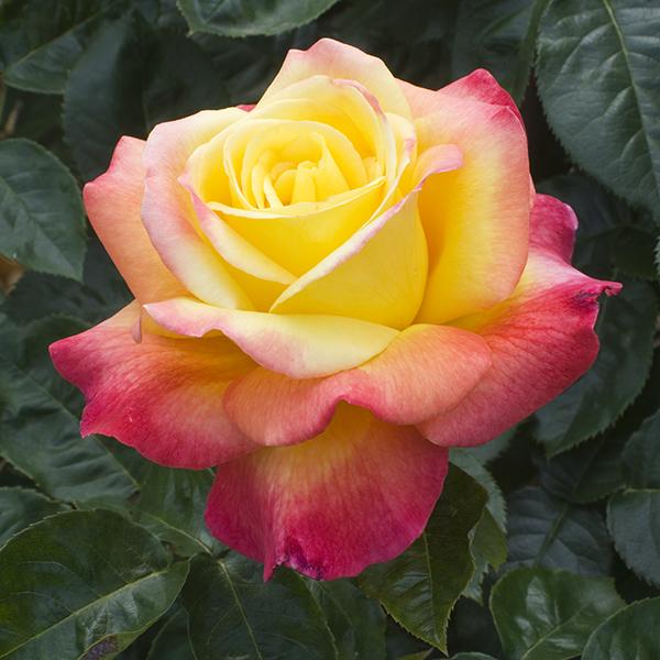 La Roseraie du Vaucluse_Rosiers buissons grandes fleurs_PULLMANN ORIENT EXPRESS_Baipeace