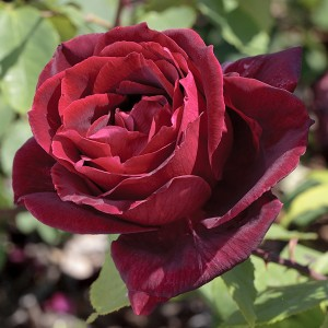 La Roseraie du Vaucluse_Rosiers buissons grandes fleurs_Papa Meilland_Meicesar