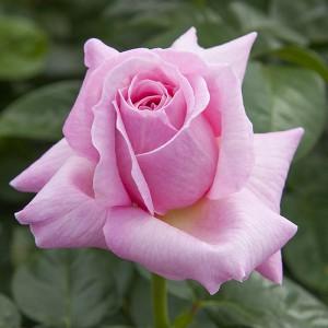 La Roseraie du Vaucluse_Rosiers buissons grandes fleurs_Pink Eureka_Meiagadou
