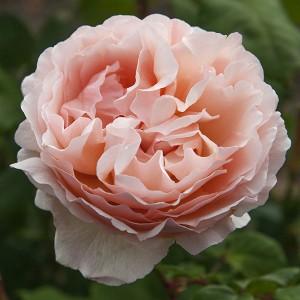 La Roseraie du Vaucluse_Rosiers buissons grandes fleurs_Princesse Charlene de Monaco_Meidysouk