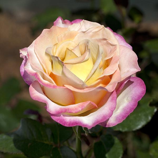 La Roseraie du Vaucluse_Rosiers buissons grandes fleurs_Sweet EUREKA_Meihozihas