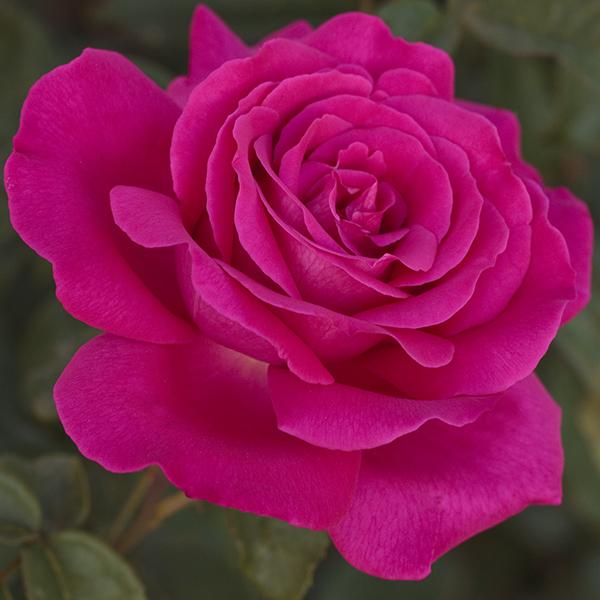 La Roseraie du Vaucluse_Rosiers buissons grandes fleurs_VELASQUEZ_Meimirtylus