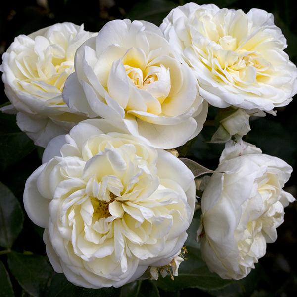 La Roseraie du Vaucluse_Rosiers buissons polyanthas_Lady Romantica_Meiperette