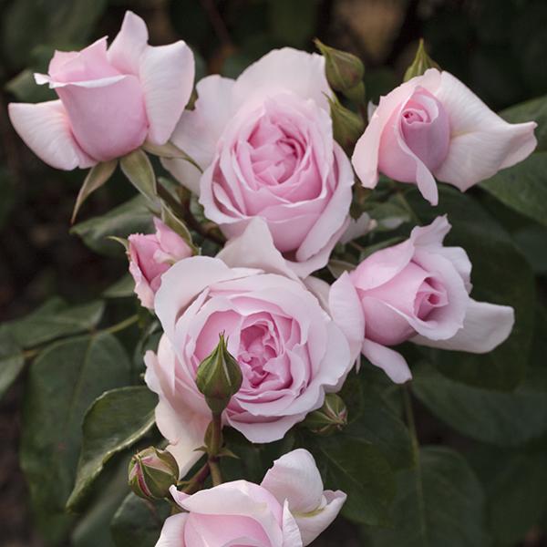 La Roseraie du Vaucluse_Rosiers buissons polyanthas_PETIT TRIANON_Meigideon