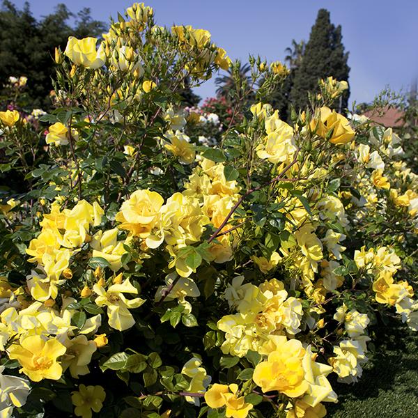 La Roseraie du Vaucluse_Rosiers paysagers_LIANE FOLY(R) Meijecycka (2399) (C)2M