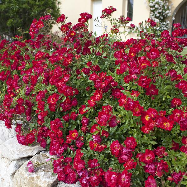 La Roseraie du Vaucluse_Rosiers paysagers_RED DRIFT_Meigalpio