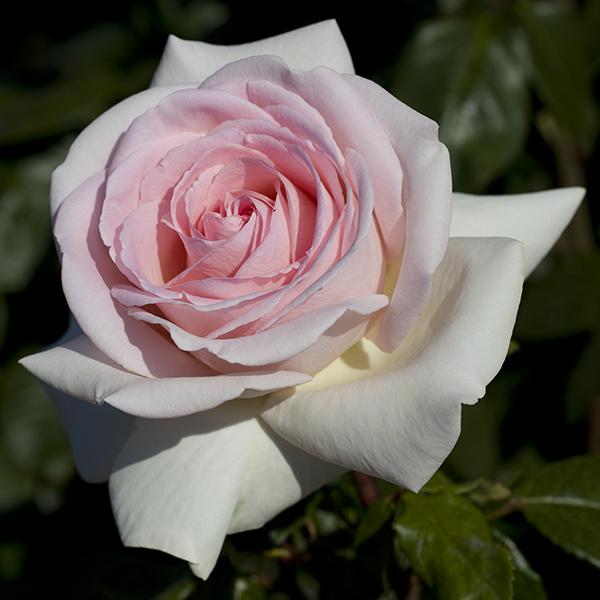 La Roseraie du Vaucluse_Rosiers tiges_PRINCE JARDINIER_Meitroni