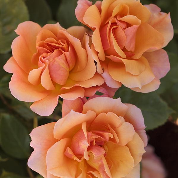 La Roseraie du Vaucluse_Rosiers tiges_TEQUILA_Meipomolo