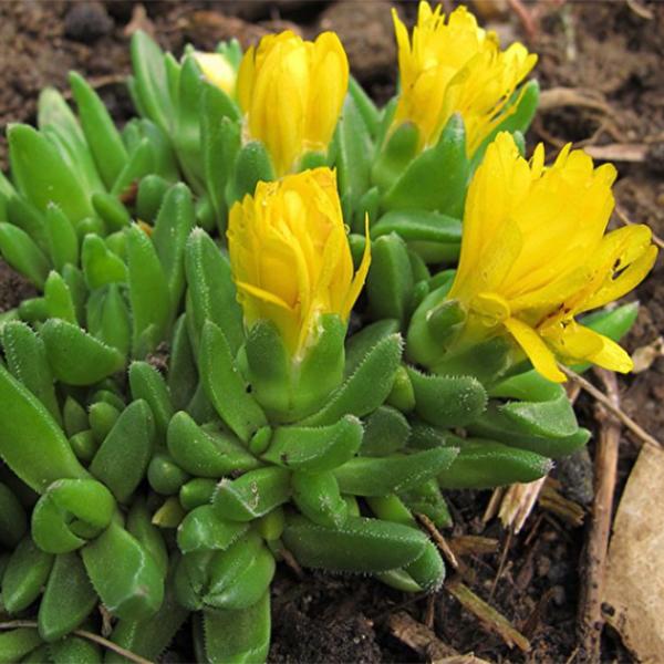 La Roseriae du Vaucluse Plantes Annuelles