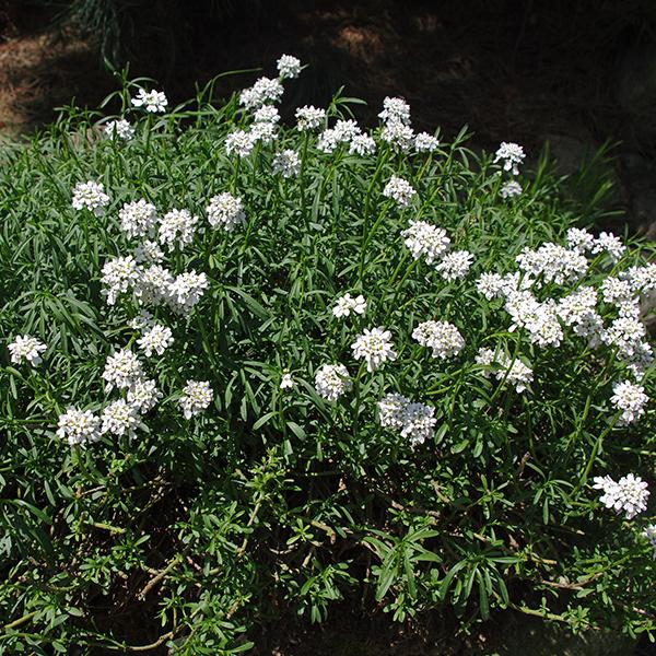 La Roseriae du Vaucluse Plantes Vivaces