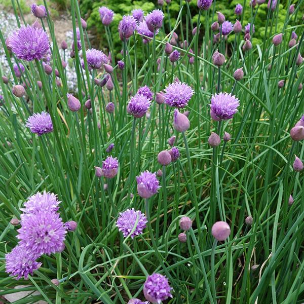 La Roseriae du Vaucluse Plantes potagères et aromatiques