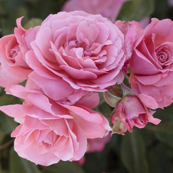 La Roseraie du Vaucluse_Rosiers Buissons Fleurs Groupées_BOTTICELLI_MEISYLPHO