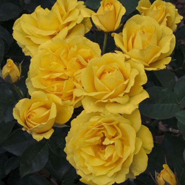 La Roseraie du Vaucluse_Rosiers Buissons Fleurs Groupées_CARTE D'OR_MEIDRESIA