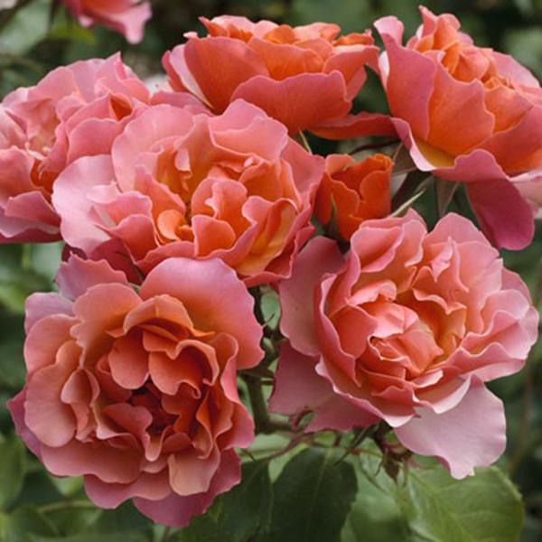 La Roseraie du Vaucluse_Rosiers Buissons Fleurs Groupées_JEAN COCTEAU_MEIKOKAN