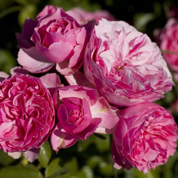 La Roseraie du Vaucluse_Rosiers Buissons Fleurs Groupées_LEONARDO DA VINCI_MEIDEAURI