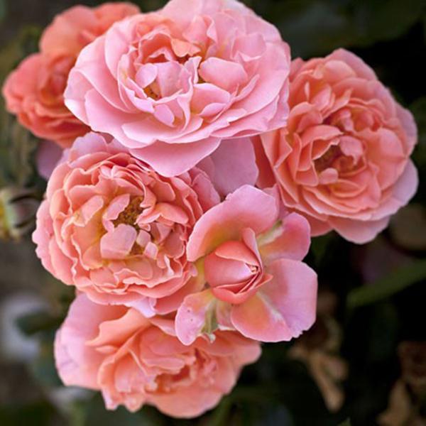 La Roseraie du Vaucluse_Rosiers Buissons Fleurs Groupées_MARIE CURIE_MEILOMIT