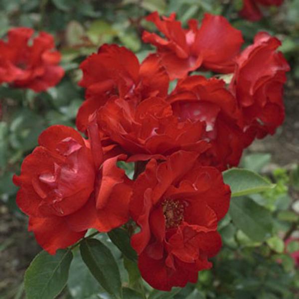 La Roseraie du Vaucluse_Rosiers Buissons Fleurs Groupées_MATTHIAS MEILLAND_MEIFOLIO