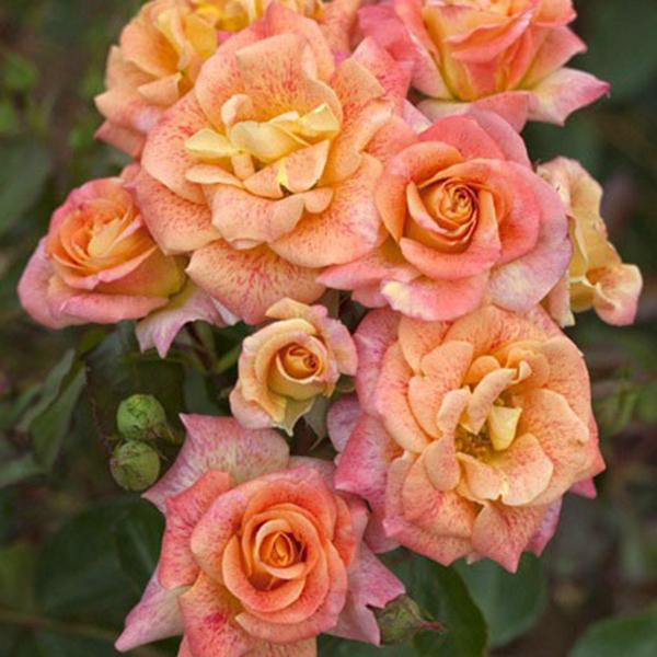 La Roseraie du Vaucluse_Rosiers Buissons Fleurs Groupées_MICHEL SERRAULT_MEIPICOTY