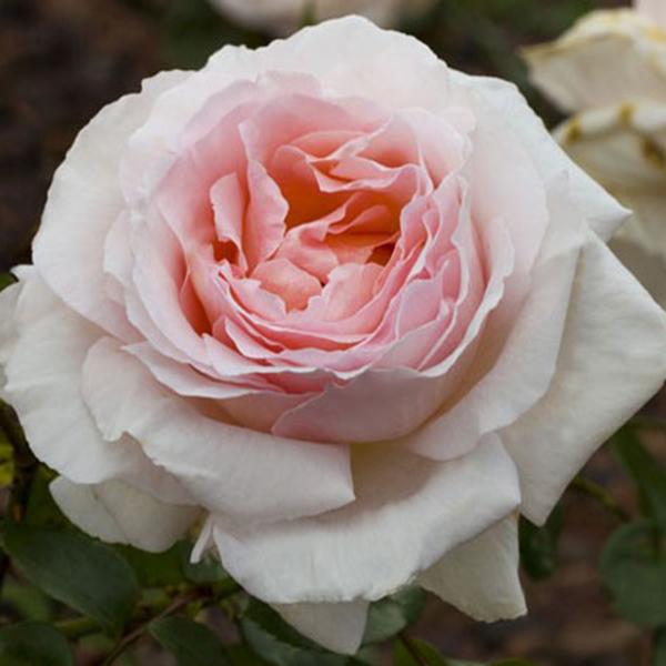 La Roseraie du Vaucluse_Rosiers Buissons Grandes Fleurs_ANDRE LE NOTRE_MEICEPPUS