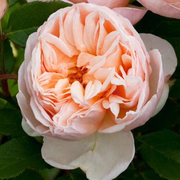 La Roseraie du Vaucluse_Rosiers Buissons Grandes Fleurs_BELLE ROMANTICA_MEIGAPENCEY