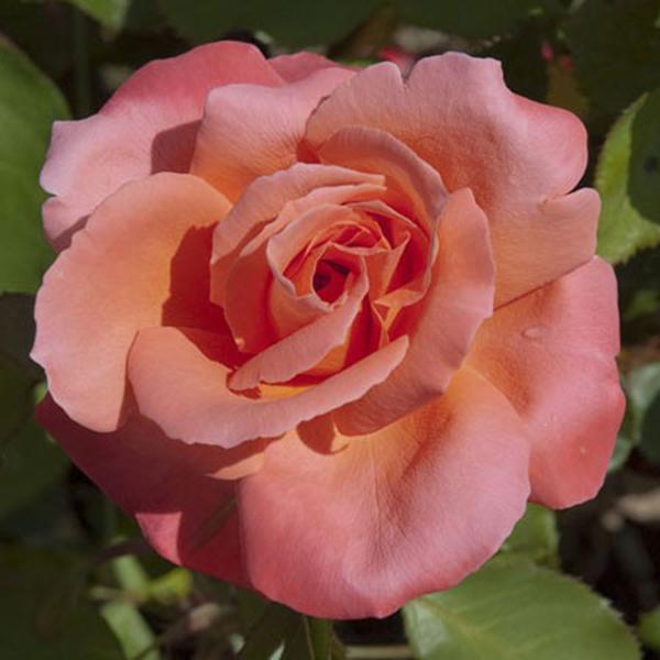 La Roseraie du Vaucluse_Rosiers Buissons Grandes Fleurs_CATHERINE DENEUVE_MEIPRASERPI