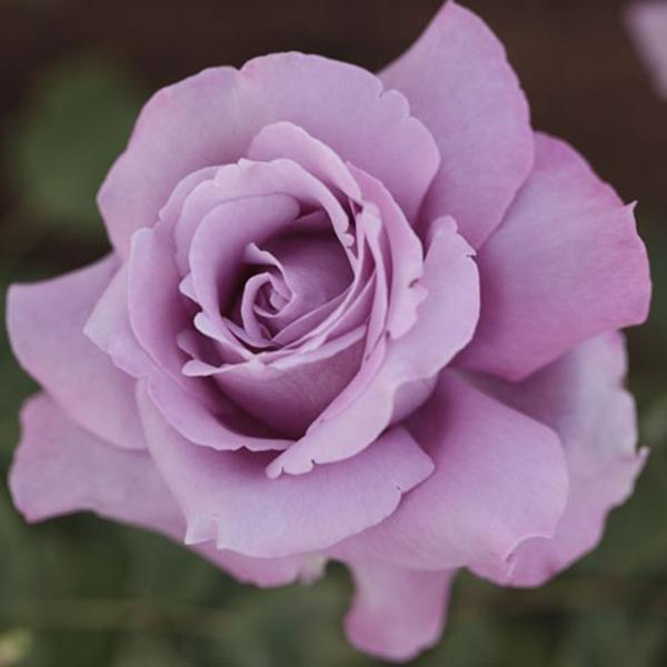 La Roseraie du Vaucluse_Rosiers Buissons Grandes Fleurs_CHARLES DE GAULLE_MEILANEIN