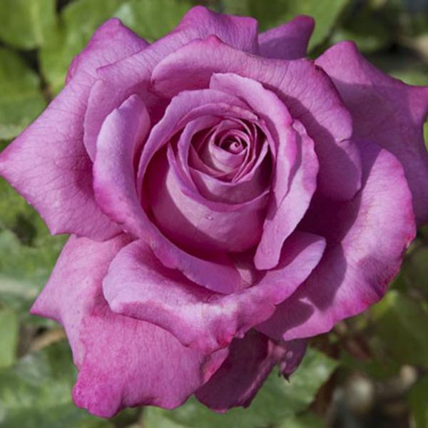 La Roseraie du Vaucluse_Rosiers Buissons Grandes Fleurs_CLAUDE BRASSEUR_MEIBRIACUS