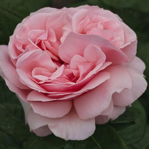 La Roseraie du Vaucluse_Rosiers Buissons Grandes Fleurs_DONATELLA_MEIKERIRA