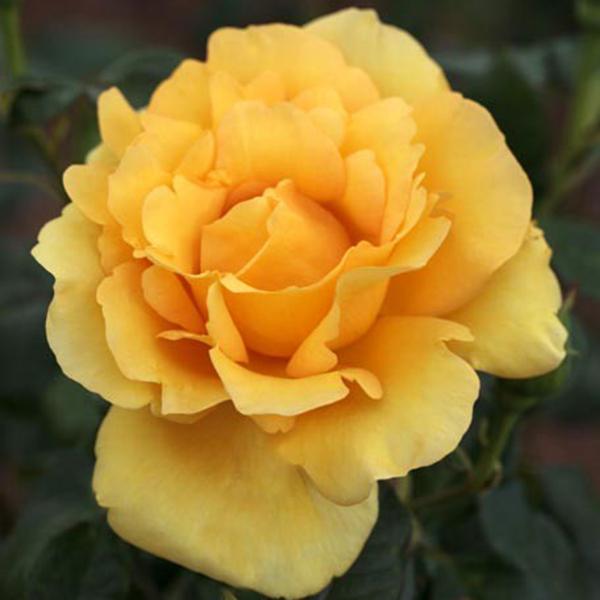 La Roseraie du Vaucluse_Rosiers Buissons Grandes Fleurs_EUREKA_MEIZAMBAIZT