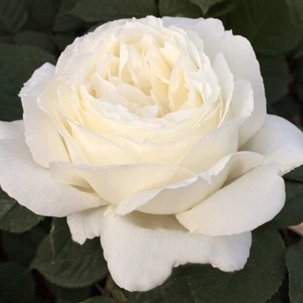 La Roseraie du Vaucluse_Rosiers Buissons Grandes Fleurs_JEANNE MOREAU_MEIDIAPHAZ