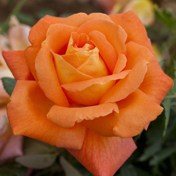 La Roseraie du Vaucluse_Rosiers Buissons Grandes Fleurs_LOUIS DE FUNES_MEIRESTIF