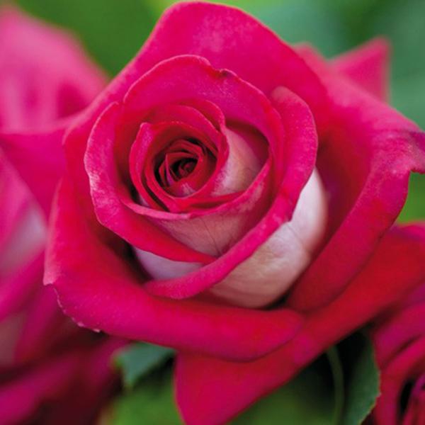 La Roseraie du Vaucluse_Rosiers Buissons Grandes Fleurs_MONICA BELLUCCI_MEIMONKEUR