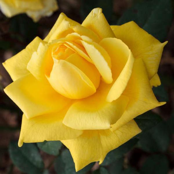 La Roseraie du Vaucluse_Rosiers Buissons Grandes Fleurs_NICOLAS HULOT_MEIFAZEDA