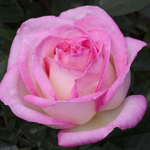 La Roseraie du Vaucluse_Rosiers Buissons Grandes Fleurs_PRINCESSE DE MONACO_MEIMAGARMIC