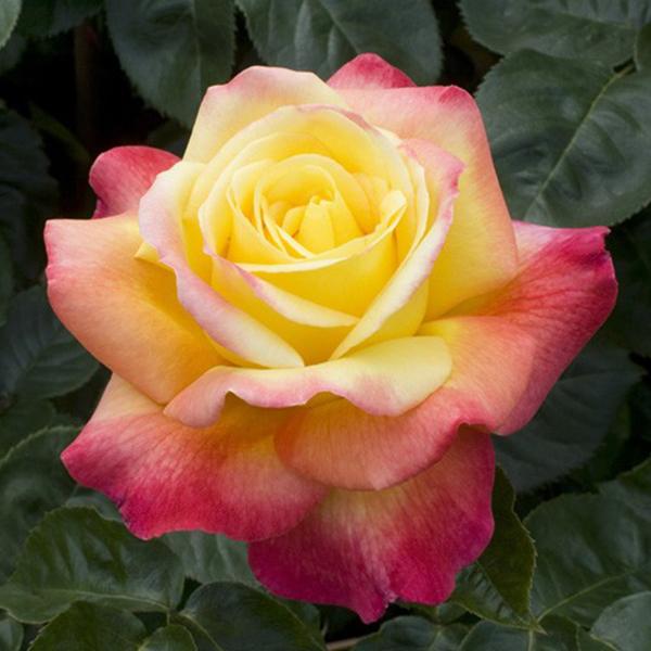 La Roseraie du Vaucluse_Rosiers Buissons Grandes Fleurs_PULLMAN ORIENT EXPRESS_BAIPEACE