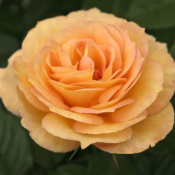 La Roseraie du Vaucluse_Rosiers Buissons Grandes Fleurs_SUMMERTIME_MEIPIOKOU