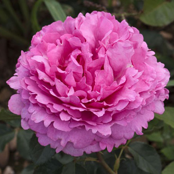 La Roseraie du Vaucluse_Rosiers Buissons Grandes Fleurs_YVES PIAGET_MEIVILDO