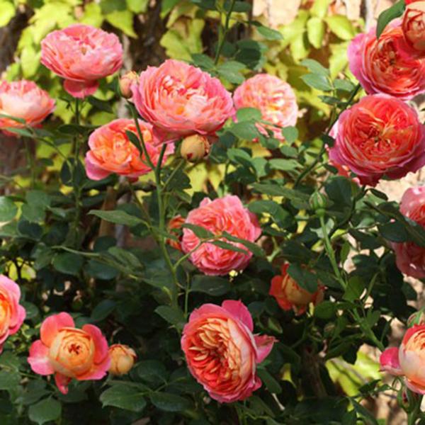 La Roseraie du Vaucluse_Rosiers Grimpantes_BABY ROMANTICA_MEILIVOINE