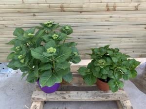 hortensias pot 5,8 ou 17