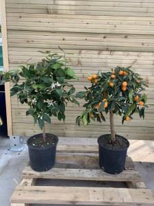 kumquat:citronnier
