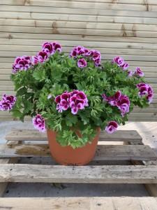 pelargonium 11,5L