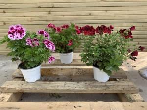 pelargonium pot 14